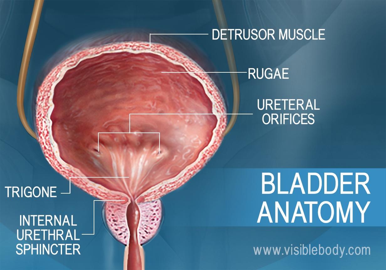 Anatomy of ureter