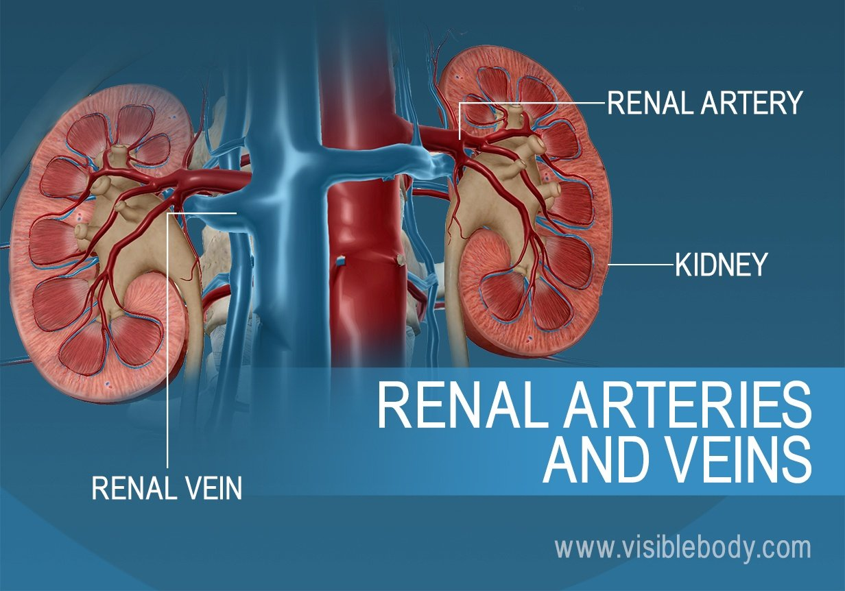 Blood flow into and out of the kidneys through the renal artery and veins