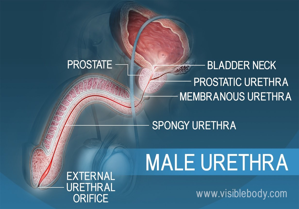 Cross section of the male urethra and its three sections
