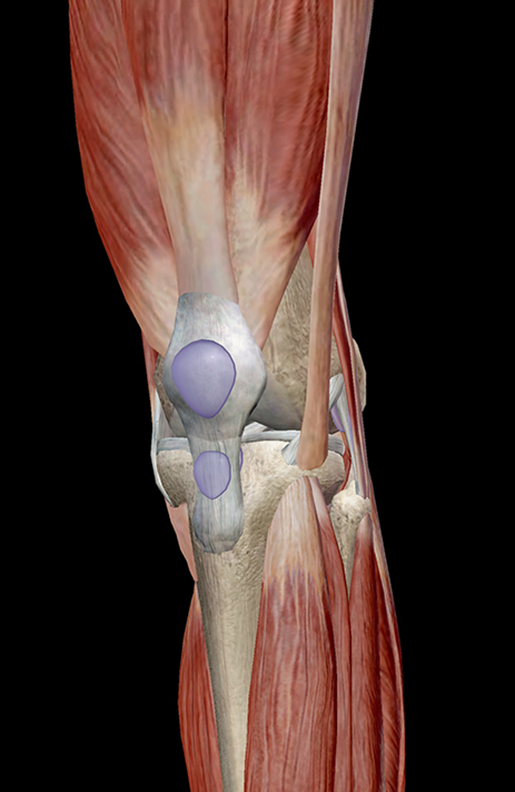 Learn Muscle Anatomy: Knee Joint Group