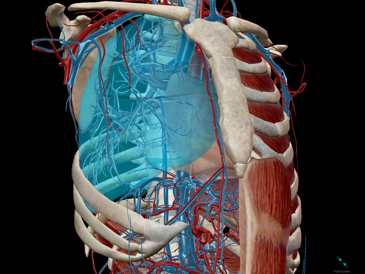 Anatomy And Physiology The Relationships Of The Respiratory System