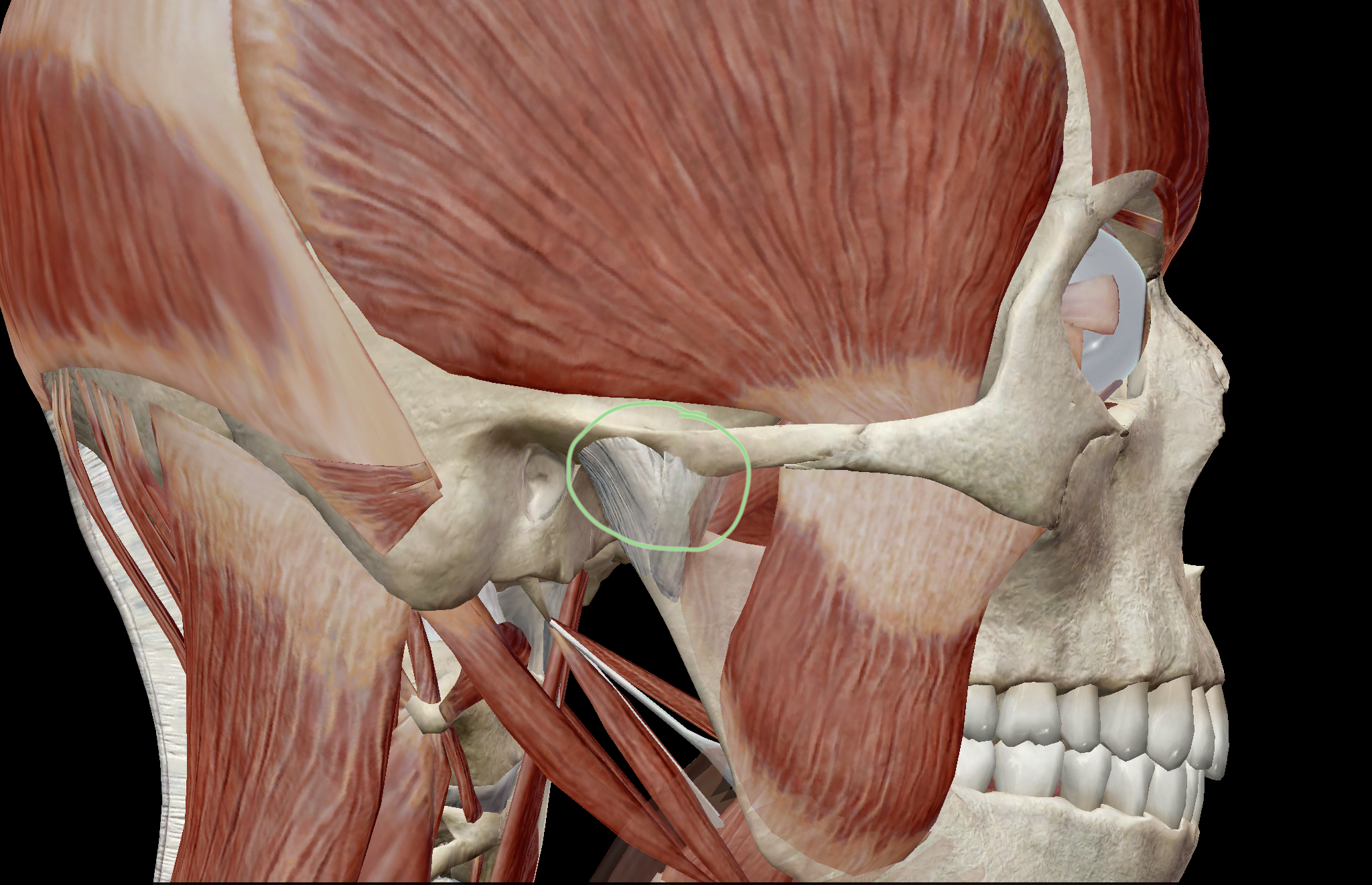 temporomandibular joint More specifically, however, the temporomandibular joint is the joint formed by the articulation of the mandible (lower jaw) with the skull it really means no more than that and you may already have.