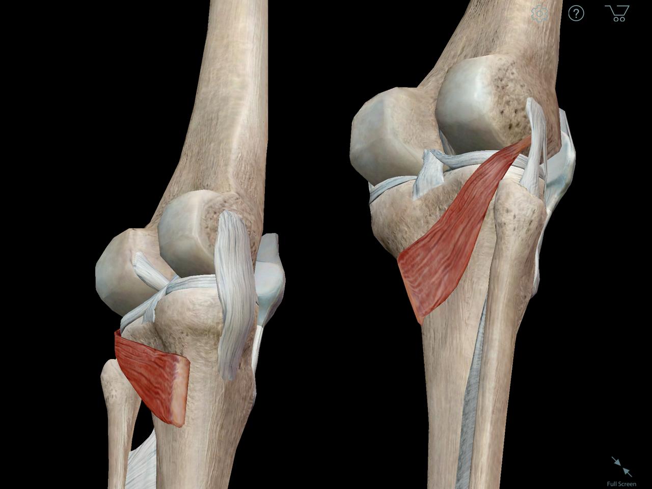 Learn Muscle Anatomy: Popliteus