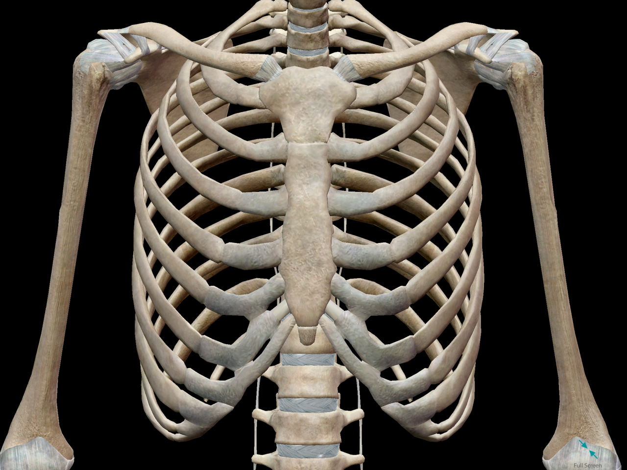 3D Skeletal System: Bones of the Thoracic Cage