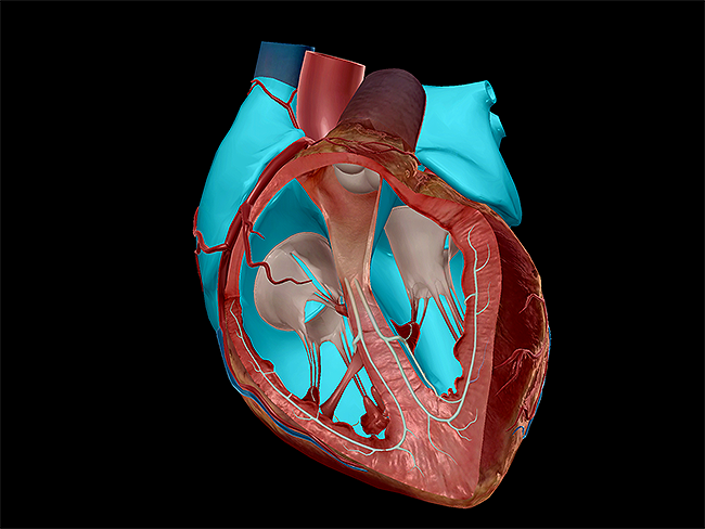 Learn Heart Anatomy: Vessels, Valves, and Chambers (oh my!)