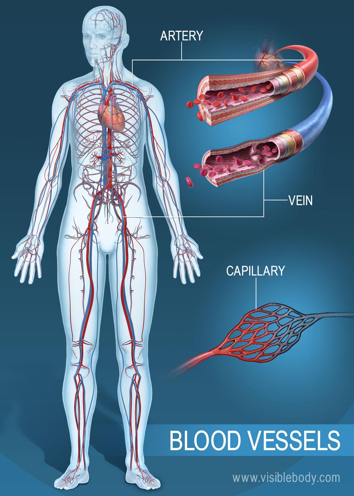 Circulatory Blood Vessels