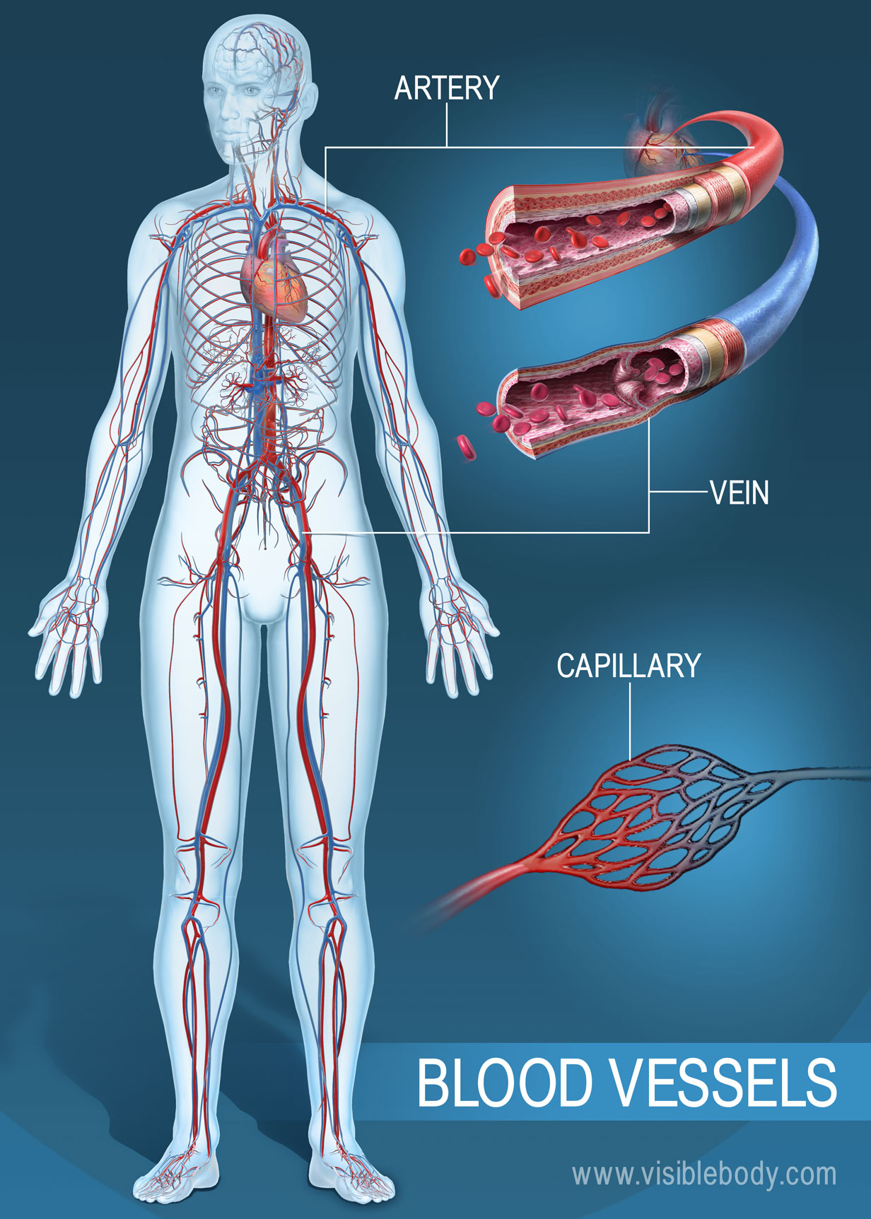 The network of arteries, veins and capillaries throughout the body