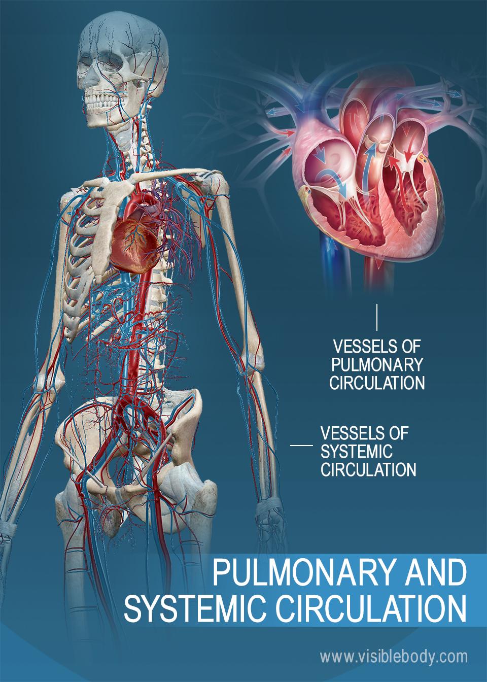 Circulatory pulmonary systemic circulation 1 there are two types of circulation pulmonary circulation and systemic circulation ccuart Gallery