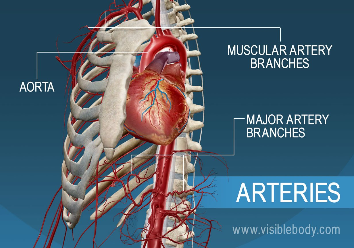 The major arteries and branches of the body