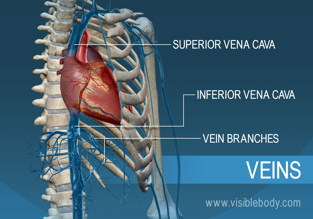 The superior and inferior vena cava