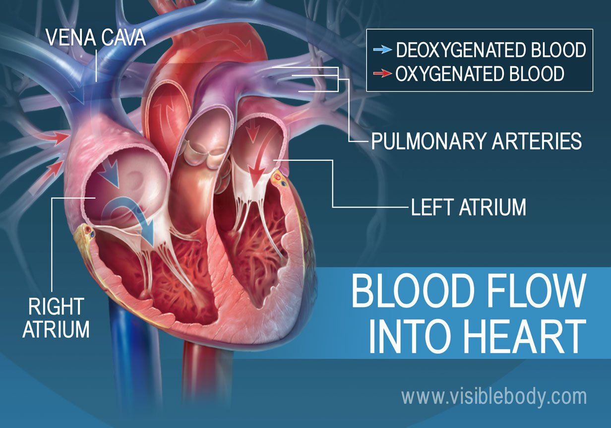 The atria pump blood into the heart