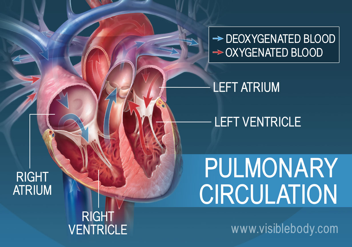 Circulatory Pulmonary Systemic Circulation