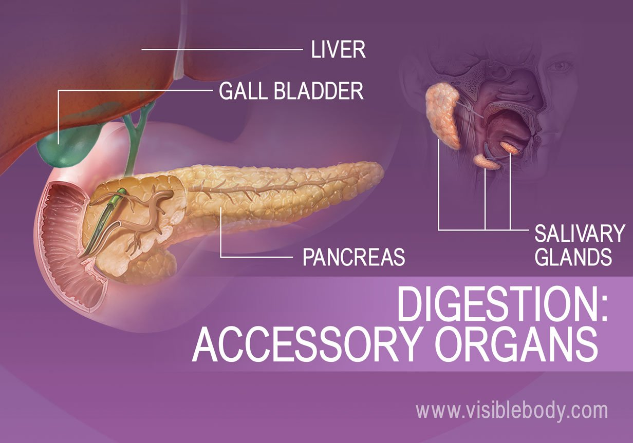 Accessory organs of digestion include the Liver, Gall bladder, Pancreas and Salivary glands