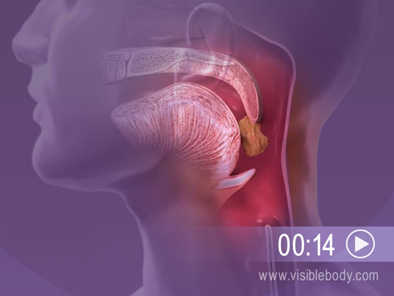 Click to play an animation of the Epiglottis