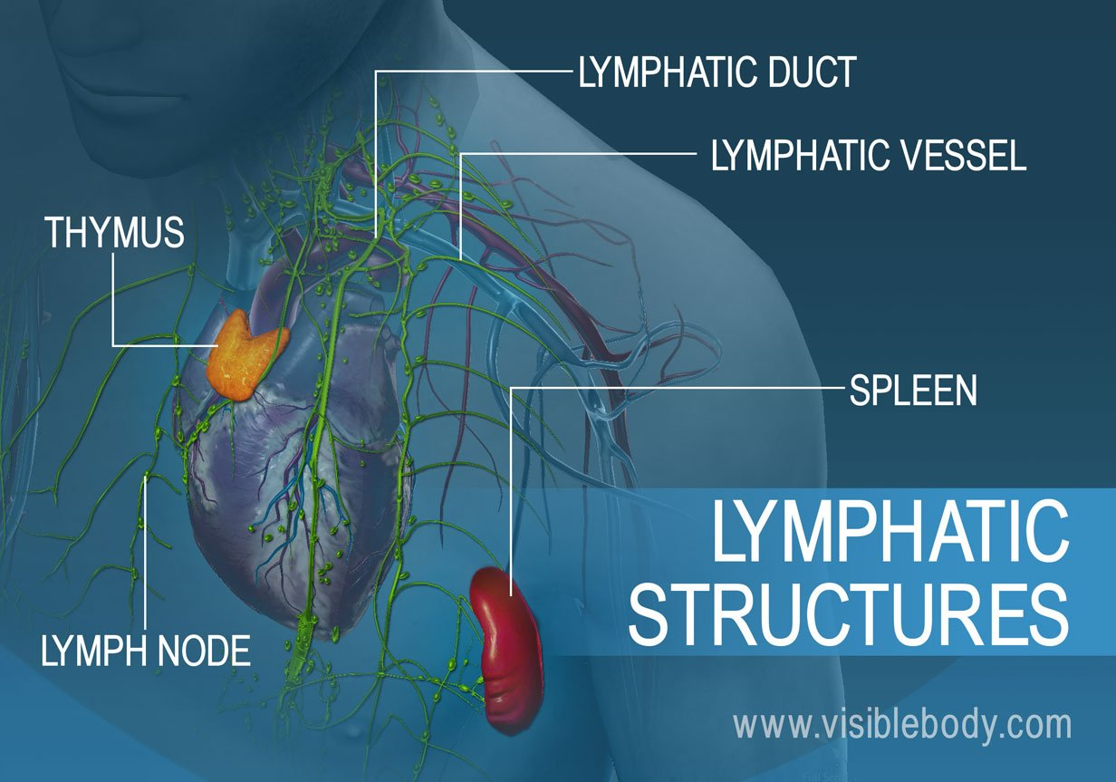 02B-Lymphatic-Structures