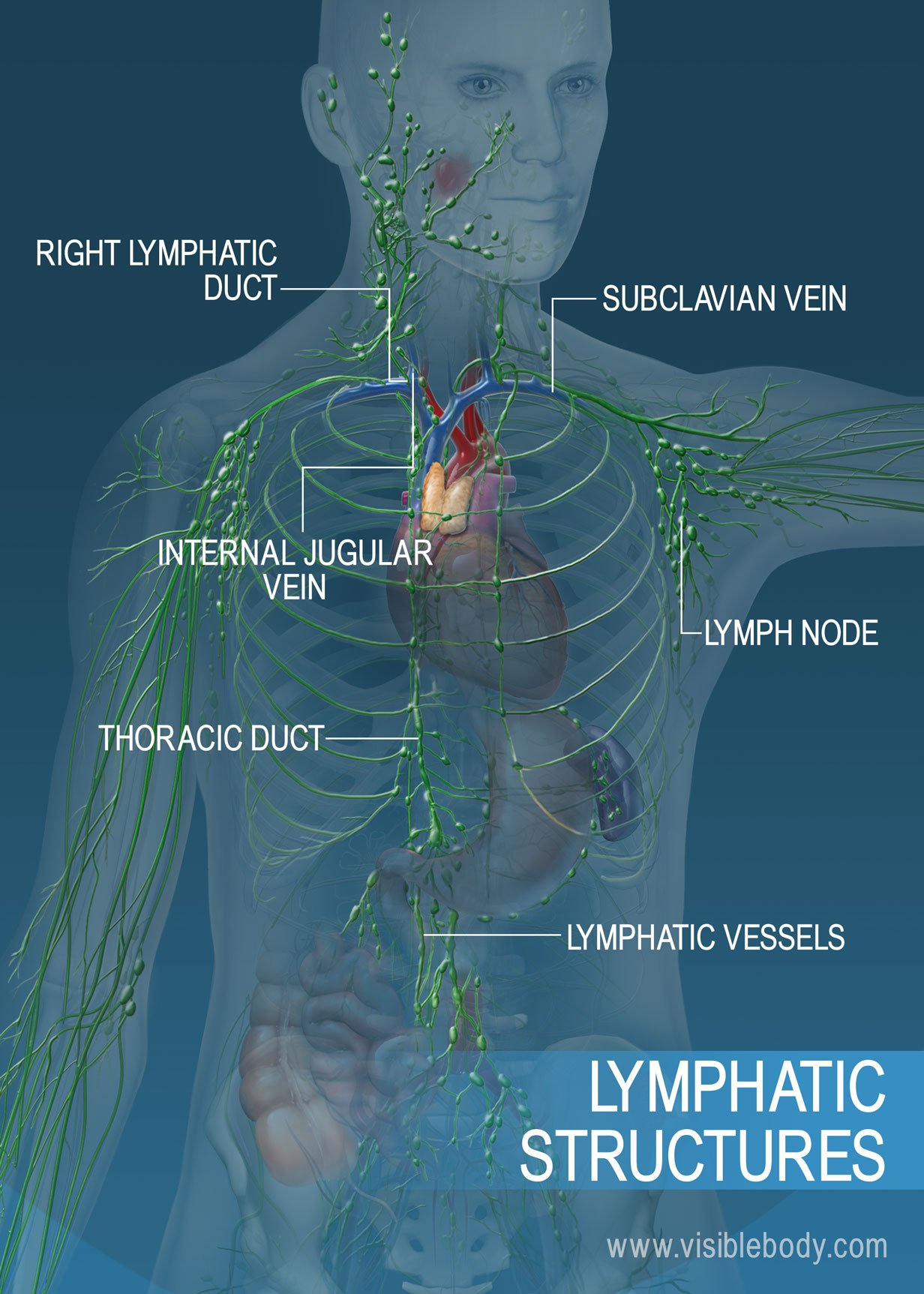 The lymphatic vessel network across the torso and arms. Major structures include the thoracic duct, the right lymphatic duct, and lymphatic vessels.