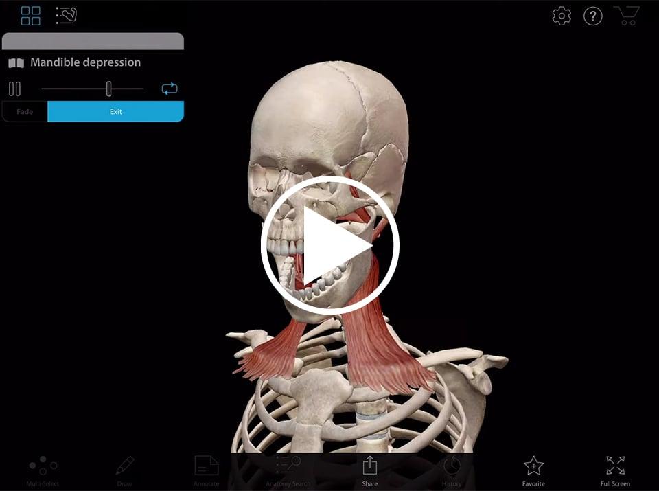 Animation der Anhebung des Unterkiefers in Muscle Premium von Visible Body