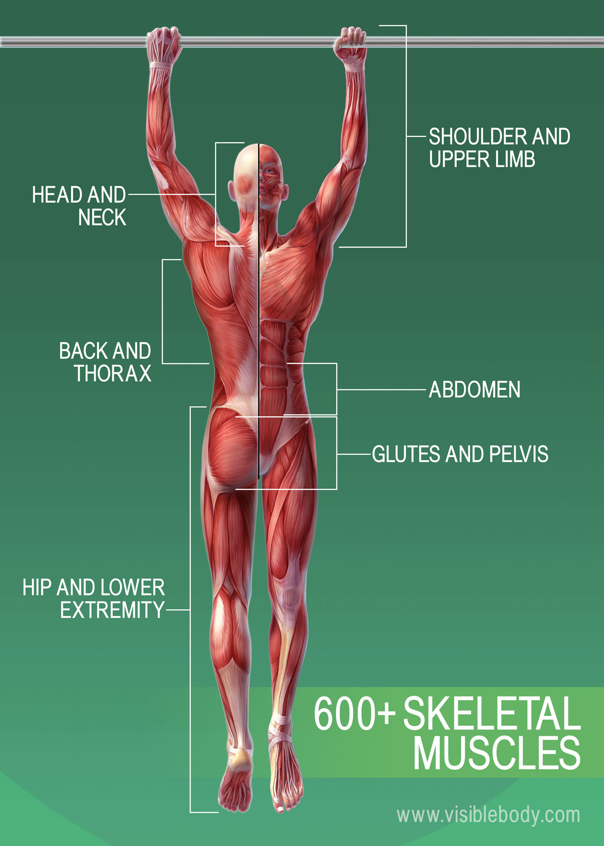 Muscular system | Learn Muscular Anatomy