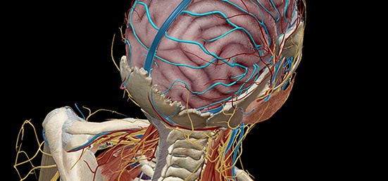 Anatomy and Physiology: The 3D Human Brain