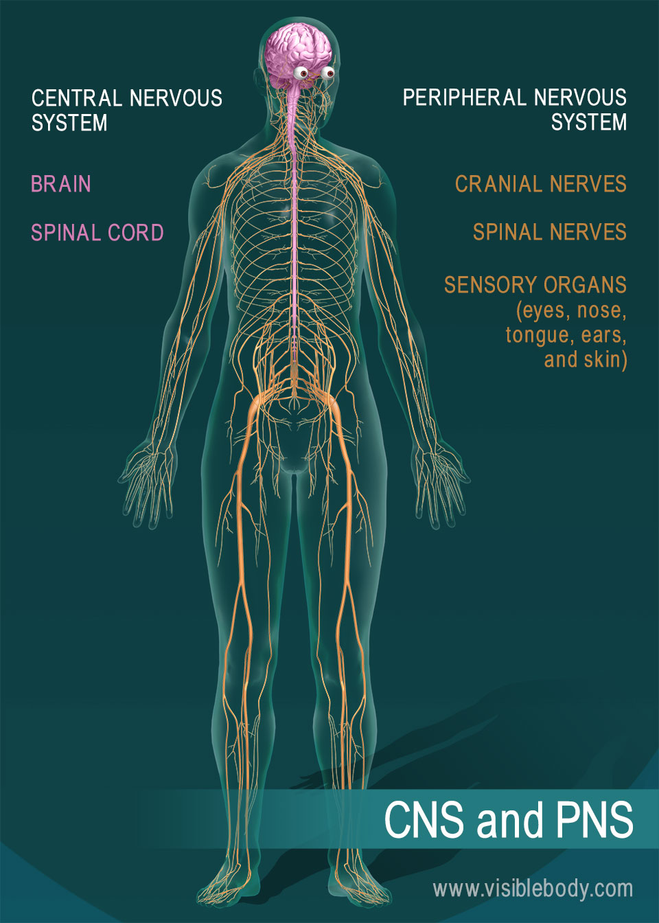 Nervous system overview the brain and spinal cord are the central nervous system nerves and sensory organs make up the peripheral nervous system ccuart Images
