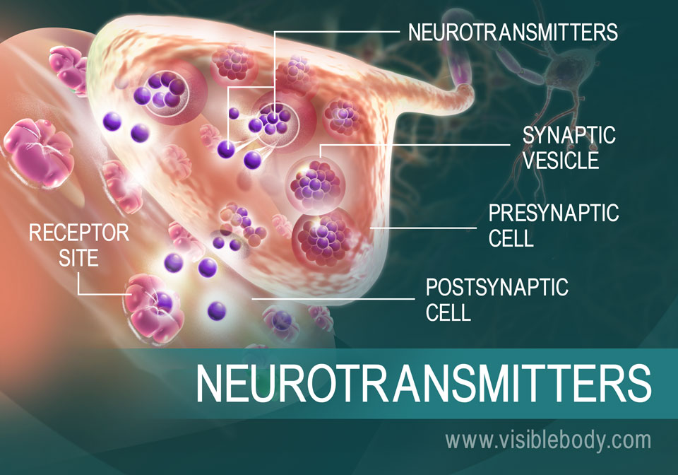 An overview of how neurotransmitters move between synapses