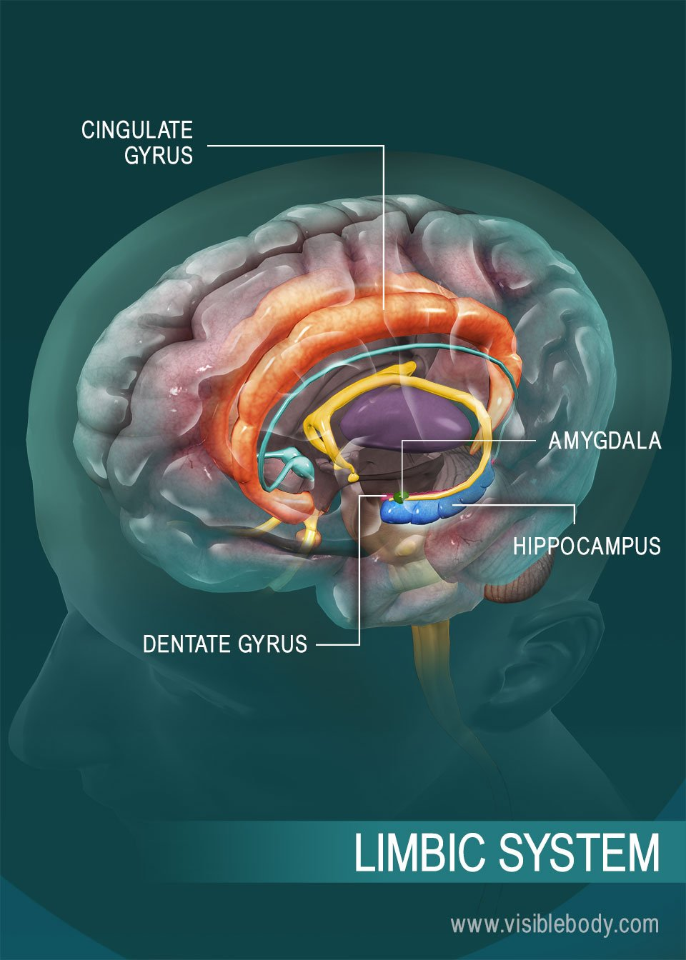 Overview of the limbic system