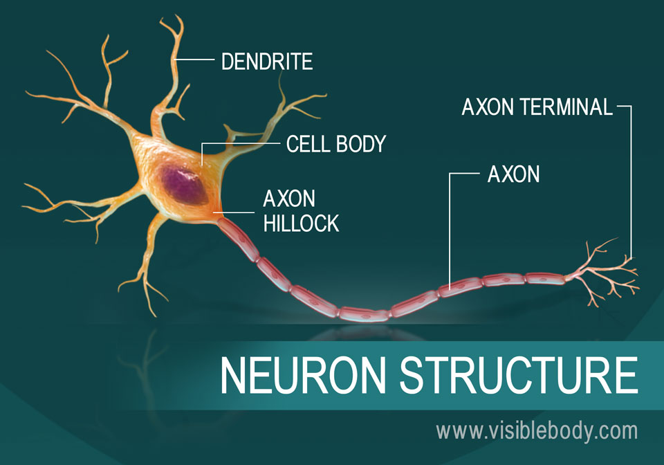 A diagram of the structure of a neuron