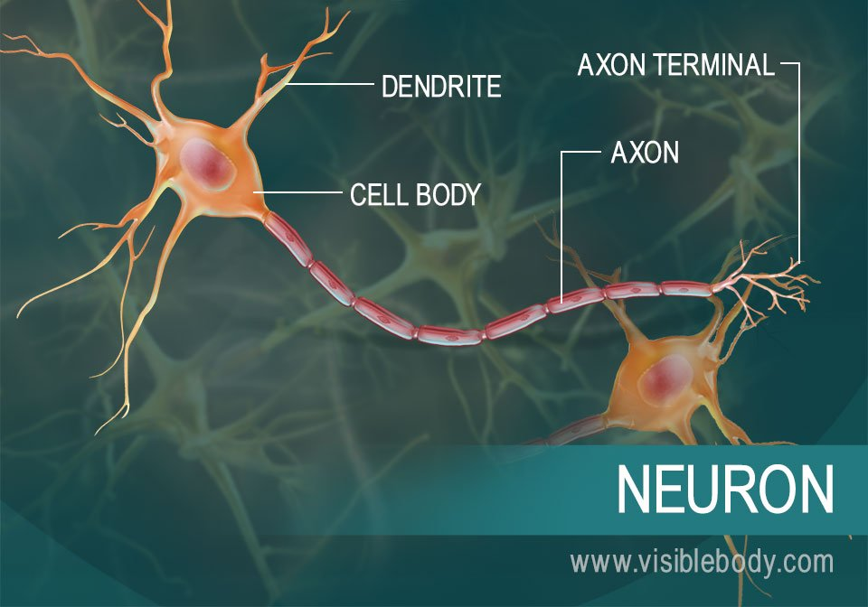A diagram of a neuron and its parts