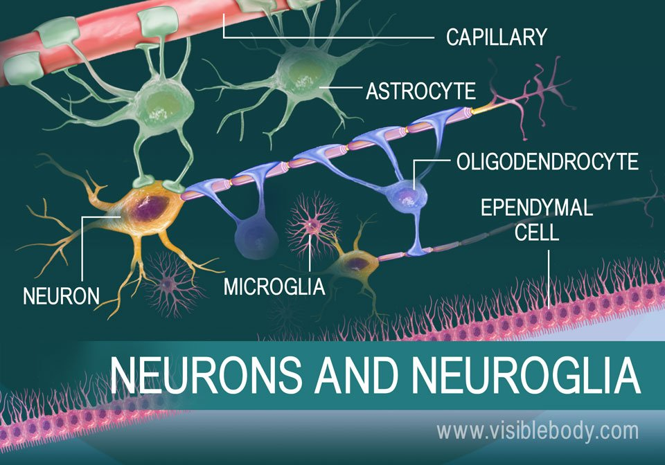 A diagram of a neuron and some types of neuroglia