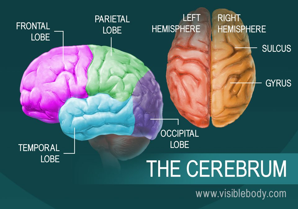 A diagram of the parts of the cerebrum