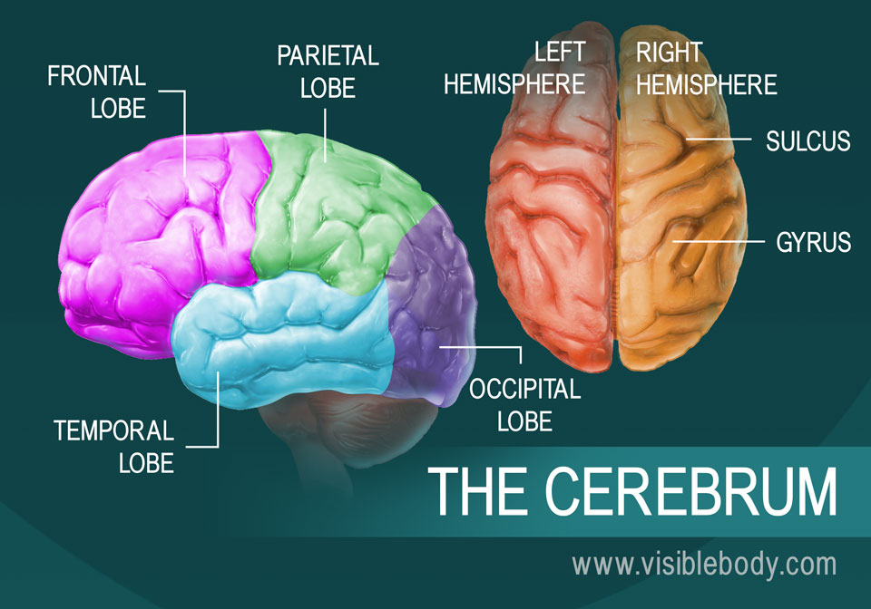 Human Brain Anatomy And Function