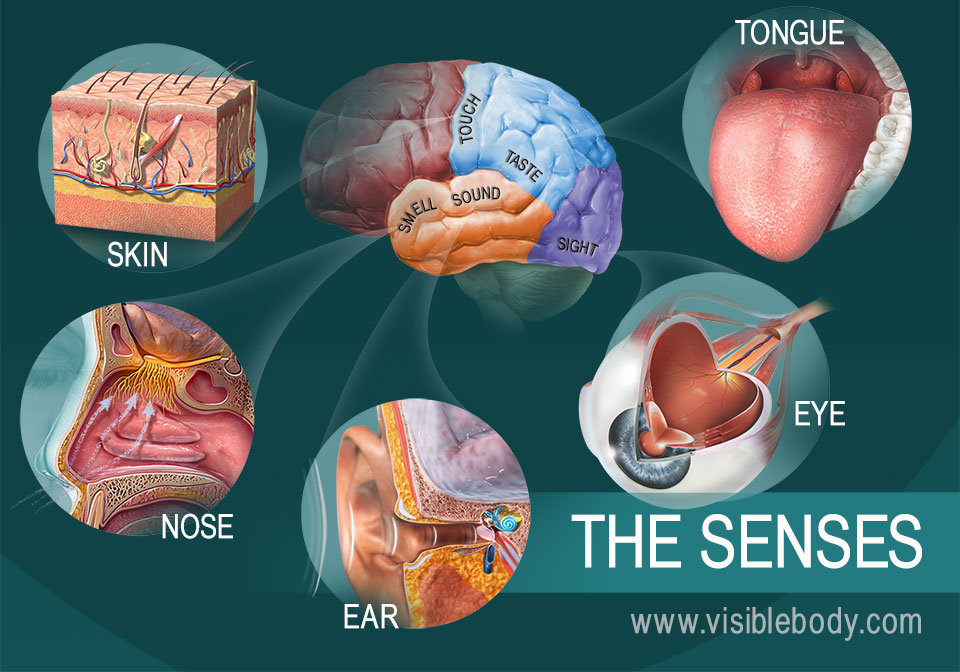The five senses a diagram of the five senses ccuart Image collections