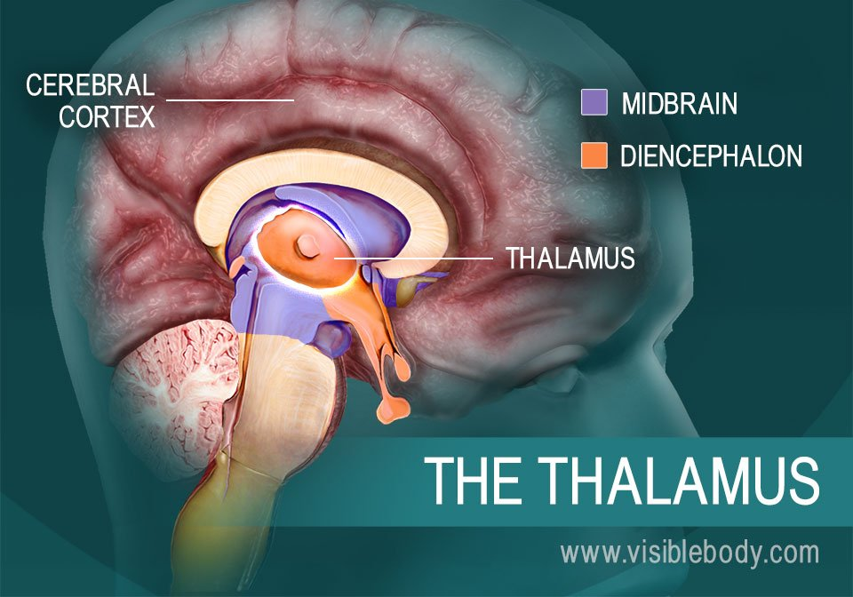 The thalamus and its position in the brain
