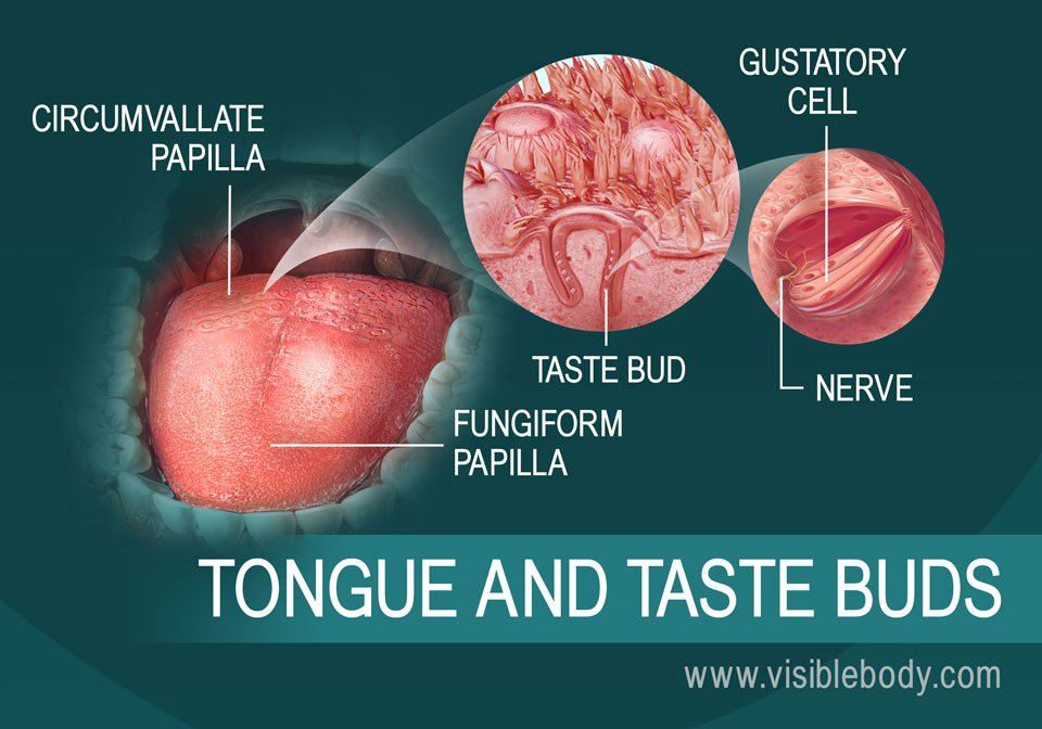 A diagram of the tongue and taste buds
