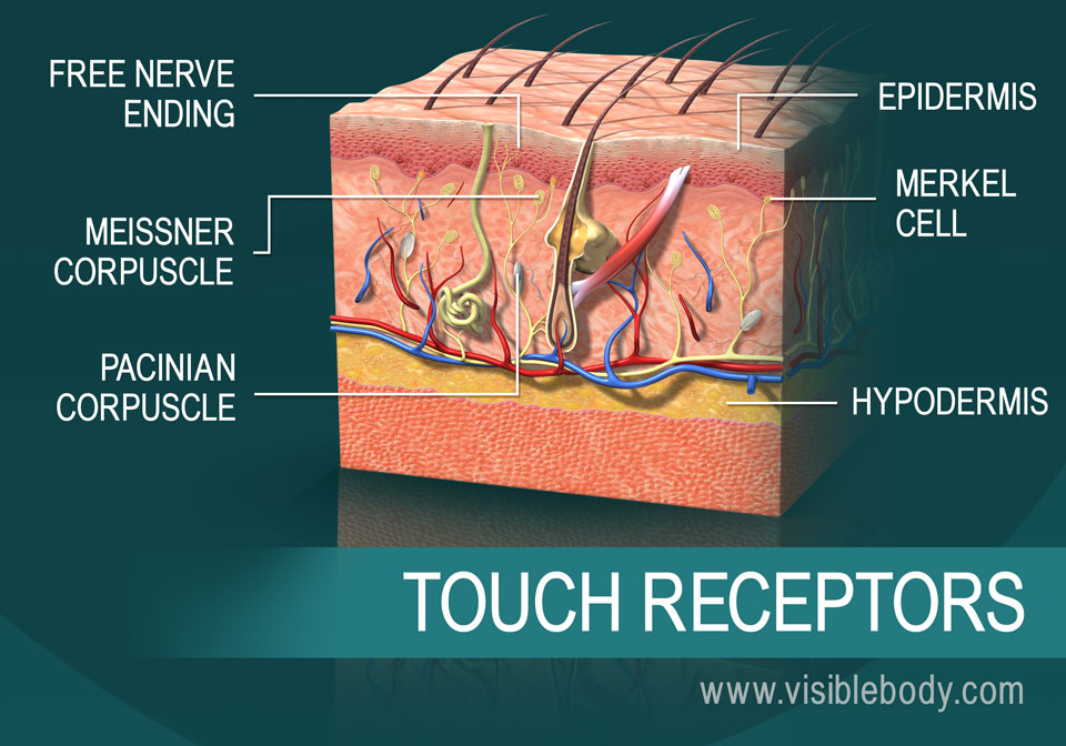 A cross-section of the skin showing touch receptors