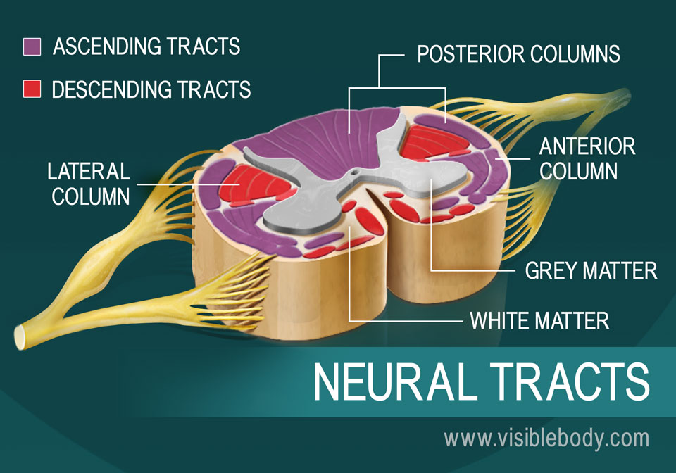 A diagram of neural tracts in the spinal cord