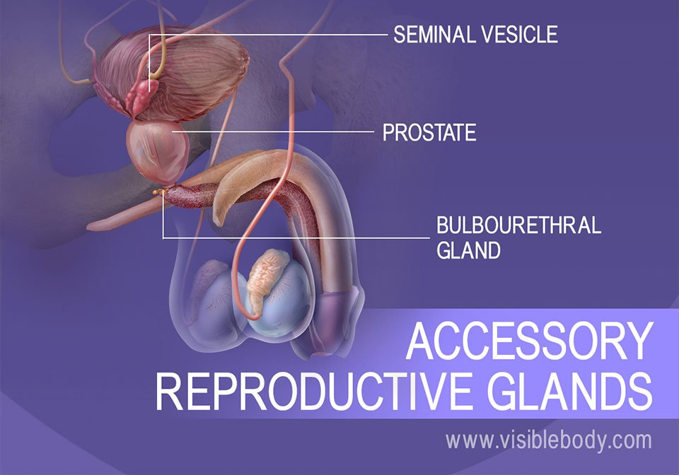 The seminal vesicle, prostate, and bulbourethral gland; secondary reproductive glands