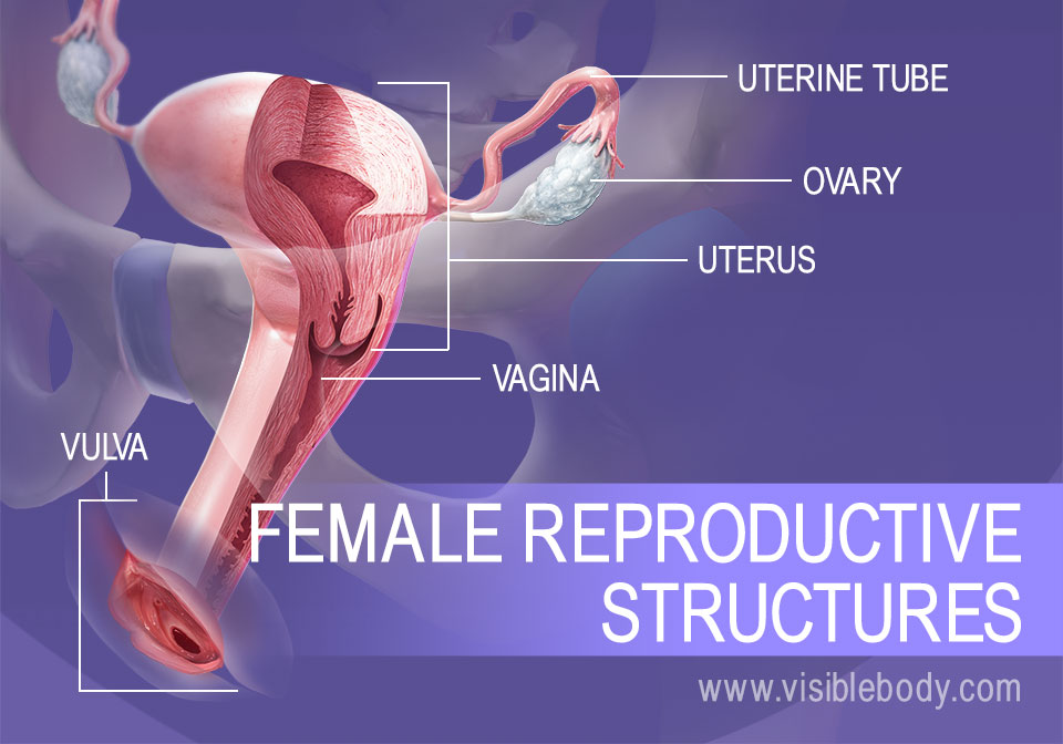 Overview of female reproductive structures