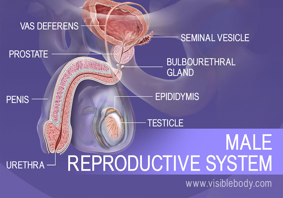 Male Reproductive Structures   Learn Anatomy