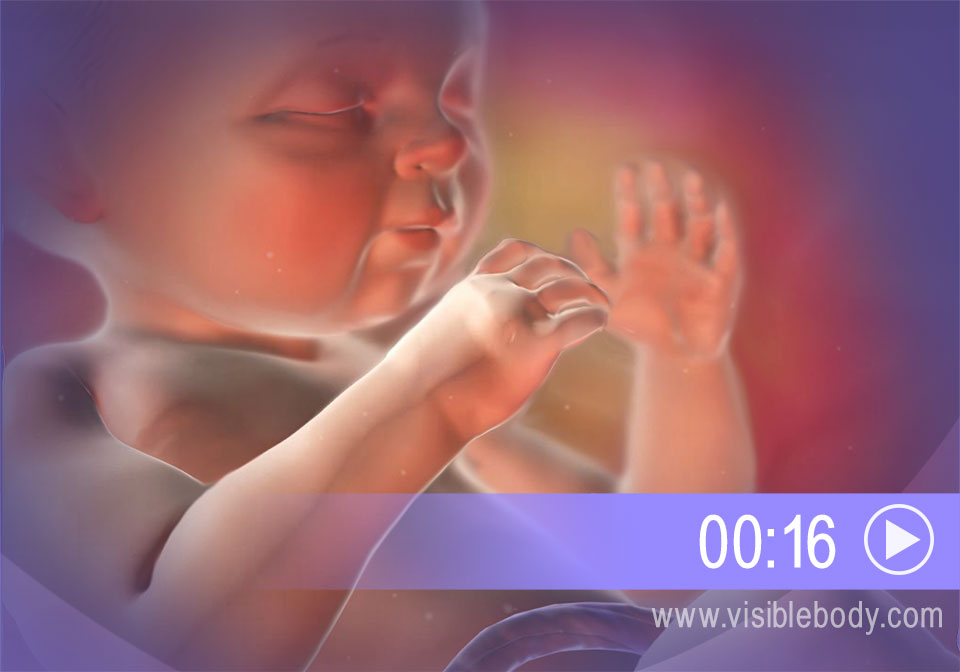 Click to play an animation of embryonic growth from fertilization to birth