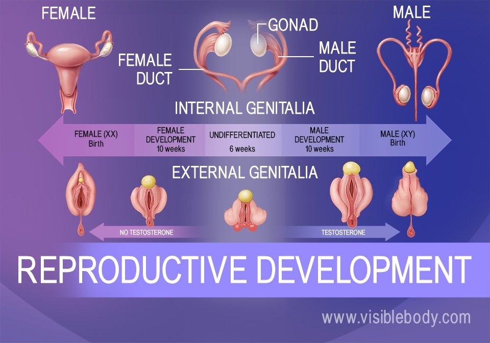 Genital differentiation of the fetus