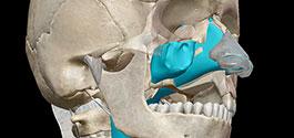 Learn Respiratory Anatomy: The Upper Respiratory System