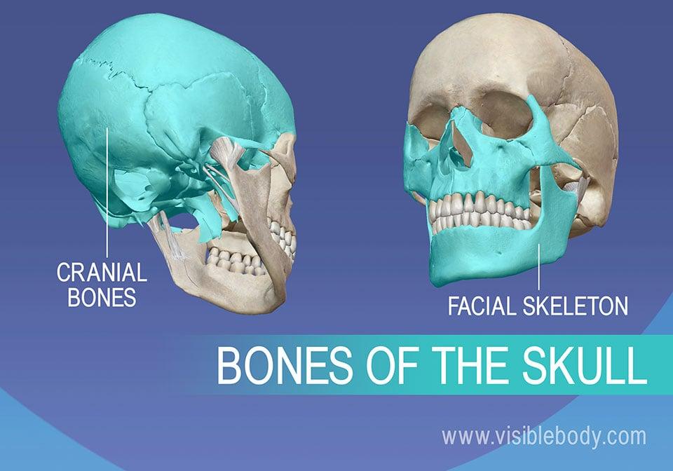 Cranial bones and Facial skeleton