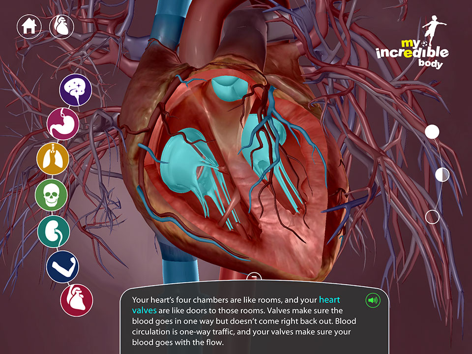 Circulatory system, heart valves and chambers
