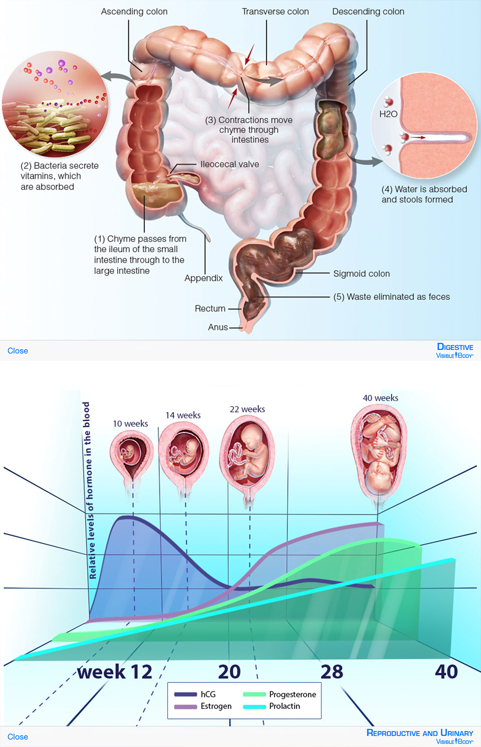 A sample of the illustrations from Digestive, and Reproductive and Urinary