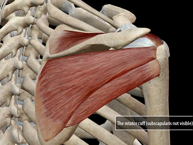 Learn Muscle Anatomy Of Dads And Rotator Cuff Injuries