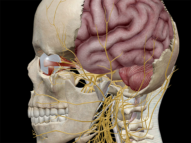Anatomy And Physiology The Anatomy Of Vision