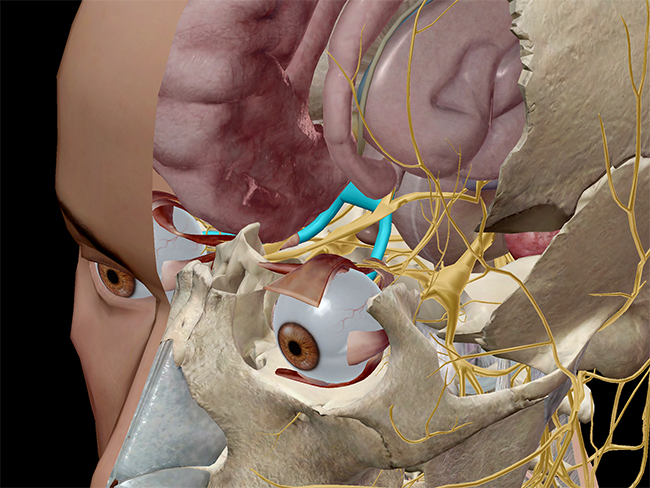 Optic chiasm and nerve, highlighted in blue.