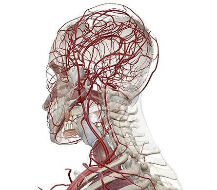 3D model of upper axial skeleton with blood vessels