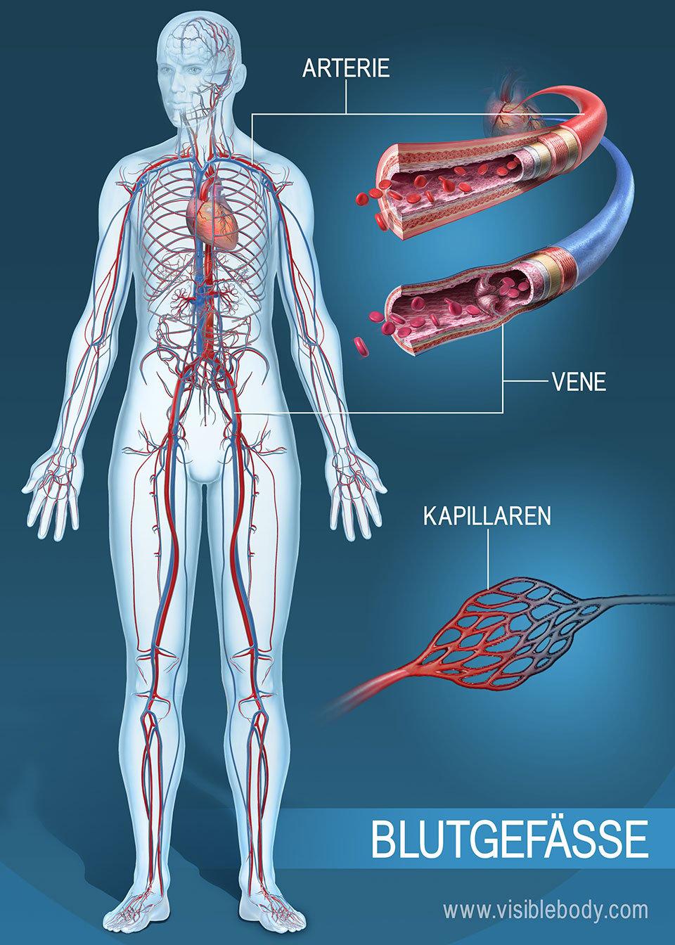 Das überall im Körper vorliegende Gefäßnetz der Arterien, Venen und Kapillaren